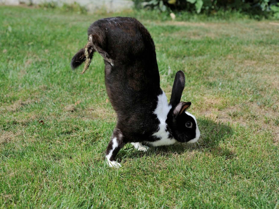 rabbit doing handstand