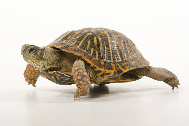 Turtle mid-stride